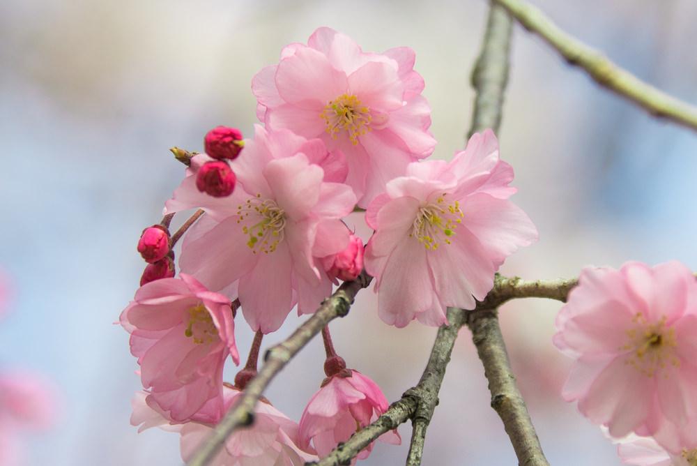 Sakura, Fukuoka